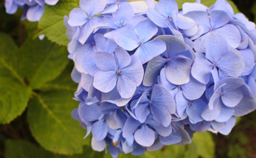 小田原城で紫陽花散歩