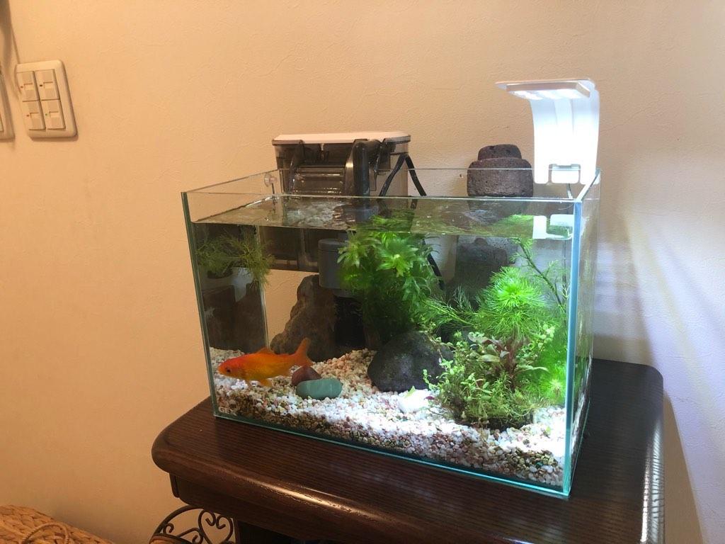 種水を使った金魚水槽の立ち上げ
