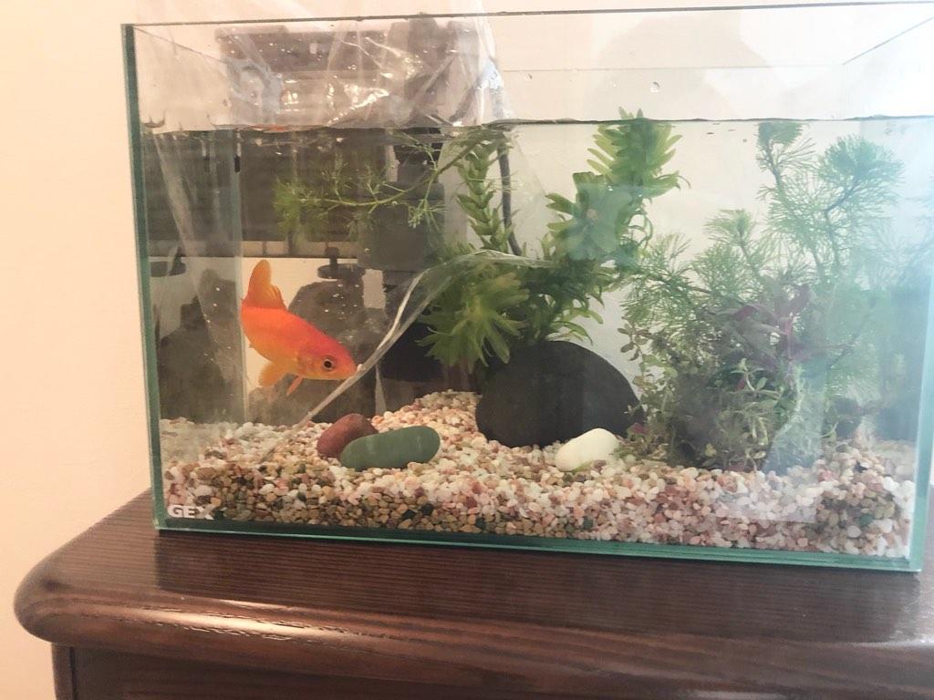 金魚の水合わせ